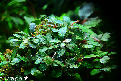 Bucephalandra Green Wavy Pot Rare Live Aquarium Plants BUY2GET1FREE*
