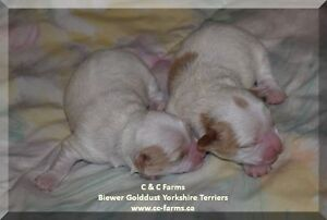 Golddust Biewer Yorkshire Terrier / Yorkie Puppies