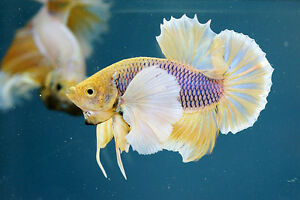 Elephant Ear Betta Fish (Dumbos) North Shore Greater Vancouver Area image 1