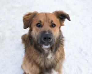 "Adult Male Dog - Golden Retriever-Shepherd: ""Prancer"""