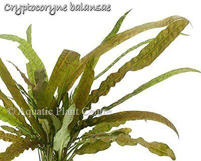 Exotic Live Aquatic Plant Cryptocoryne balansae Potted for Best Quality P035