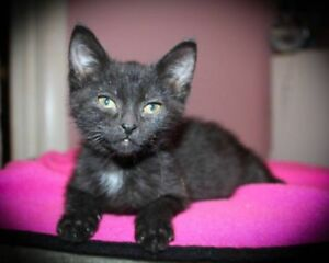 "Baby Female Cat - Domestic Short Hair: ""anne"""
