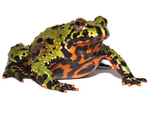 2 active Fire Bellied Toads.