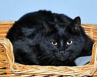"""Adult Male Cat - Bombay: """"Ziggy"""" Gatineau Ottawa / Gatineau Area Preview"""