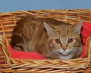 "Adult Male Cat - Bengal-Tabby - Orange: ""Floyd"""