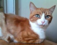Senior Female  - Domestic Short Hair - orange and white-Tabby