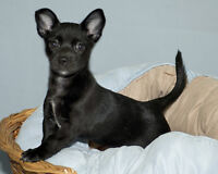 "Baby Female Dog - Chihuahua-Terrier: ""Bailey"" Gatineau Ottawa / Gatineau Area Preview"