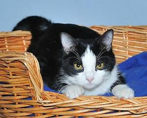 """Young Female Cat - Domestic Short Hair-black and white: """"Domino"""""""