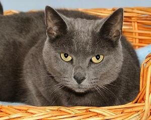 "Adult Male Cat - Russian Blue: ""Dusty"""