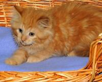 Baby Female  - Tabby - Orange-Domestic Long Hair - orange Gatineau Ottawa / Gatineau Area Preview