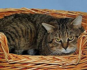 """Adult Male Cat - Tabby (Brown): """"Diego"""""""
