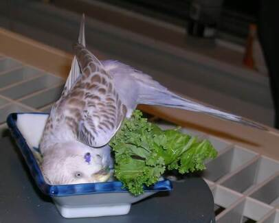 ~ 20 MULTICOLOUR BABY BUDGIES $50 EACH - ALL FULLY HANDRAISED ~ Kenwick Gosnells Area Preview