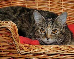 "Young Female Cat - Tabby - Brown: ""Ciara"""