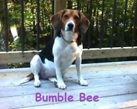 """Adult Female Dog - Beagle: """"Bumble Bee - Loves Car Rides!"""""""