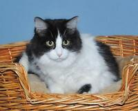 """Young Female Cat - Domestic Long Hair-black and white: """"Arielle"""" Gatineau Ottawa / Gatineau Area Preview"""
