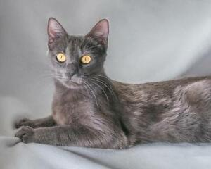 "Young Female Cat - Domestic Short Hair: ""Kira"""