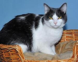 "Young Male Cat - Domestic Short Hair - gray and white: ""Milou"""