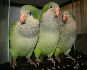 Hand raised super friendly GREEN QUAKER BABIES