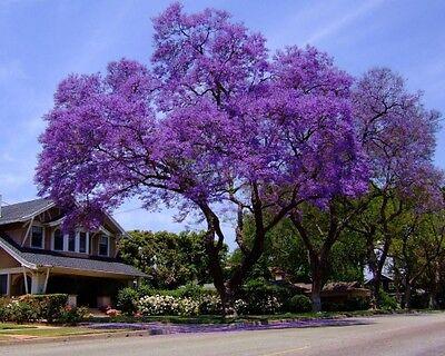 Royal Empress Tree 300 Seeds Stunning Purple Flowers in Spring Fast Growing!