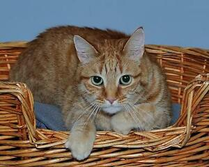 Male Cat - Tabby - Orange-Extra-Toes Cat (Hemingway Polydactyl)