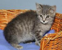 "Baby Female Cat - Tabby - Grey: ""Emily"" Gatineau Ottawa / Gatineau Area Preview"