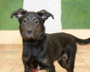 "Young Female Dog - Shepherd-Labrador Retriever: ""Karmel"""