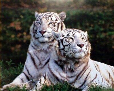 Pair of White Bengal Tiger Siberian Safari Wildlife Art Print Poster (16x20)