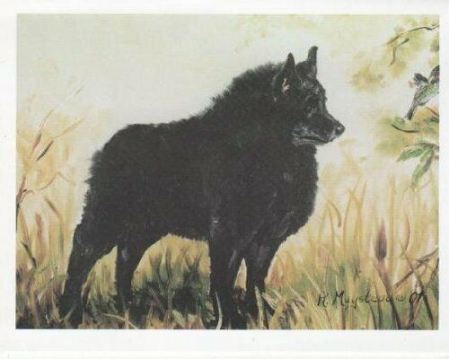 New Schipperke in Field Notecard Set 12 Notecards Envelopes By Ruth Maystead