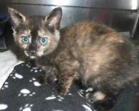 Baby Female  - Domestic Short Hair