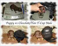~♥~Tiny T-Cup Applehead Chocolate Chihuahua Puppies ~♥~