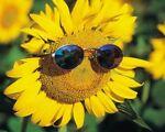 Sunflowers Power
