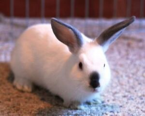 "Adult Female Rabbit - Bunny Rabbit: ""Shamrock"""