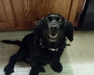 "Adult Female Dog - Cocker Spaniel: ""Bonnie"""
