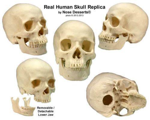 anatomy skull | ebay, Human Body