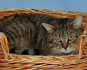 "Adult Male Cat - Tabby - Brown: ""Diego"""