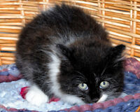 "Baby Female Cat - Domestic Long Hair (Black & White): ""Felicity"" Gatineau Ottawa / Gatineau Area Preview"