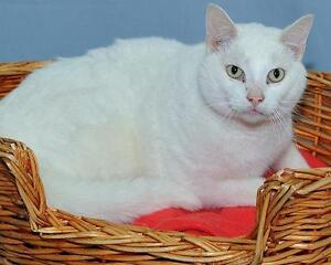 """Young Male Cat - Domestic Short Hair-white: """"Coconut"""""""