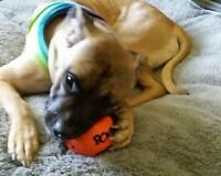"Baby Female Dog - Mastiff: ""Athena"""