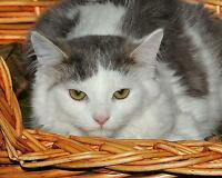 "Baby Female Cat - Domestic Medium Hair - gray and white: ""Lily"" Gatineau Ottawa / Gatineau Area Preview"