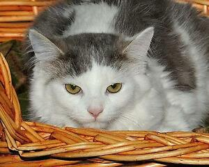 """Baby Female Cat - Domestic Medium Hair - gray and white: """"Lily"""""""