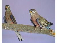 Female Burke's Parrot