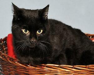 "Young Male Cat - Korat-Domestic Short Hair-black: ""Robertson"" Gatineau Ottawa / Gatineau Area image 1"