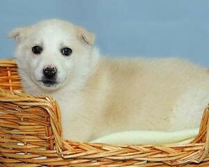 "Baby Male Dog - Husky-Labrador Retriever: ""Corey"""