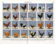 Antique Chicken