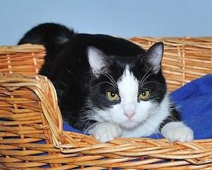 """Young Female Cat - Domestic Short Hair (Black & White): """"Domino"""""""