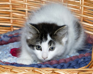 "Baby Female Cat - Tabby (White): ""Juniper"""