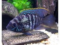 Blue Acara for sale live tropical fish