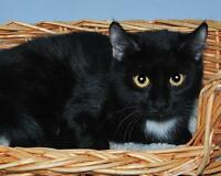 """Young Female Cat - Domestic Short Hair-black and white: """"Mona"""" Gatineau Ottawa / Gatineau Area Preview"""