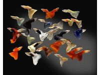 Tropical fish (guppies male and females top quality)