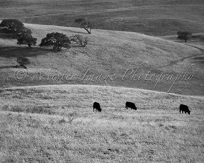 Black & White Cow Landscape Photo Photograph Print 8 X 10 Wall Art Home Decor Black White Landscape Photographs
